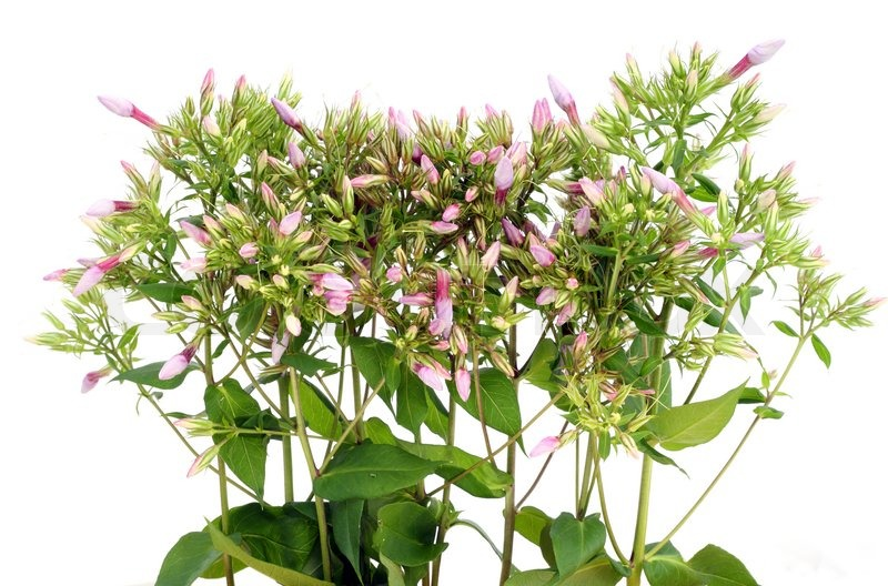 Stock image of 'Green plants with pink buds isolated on white'