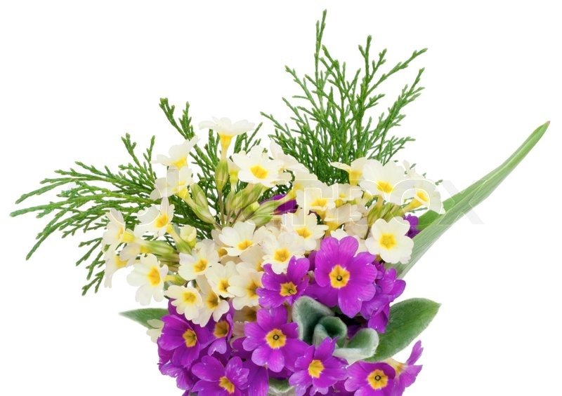 First springs flowers cream and violet gentle primroses background first springs flowers cream and violet gentle primroses background isolated on white stock photo colourbox mightylinksfo