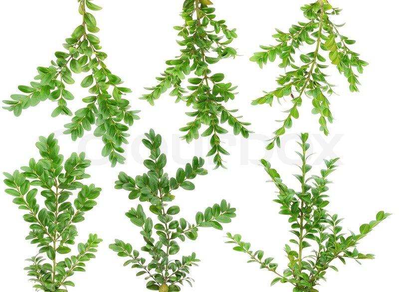 Immergr ne pflanzen buchsbaum buxus zweige gesetzt for Pflanzen evergreen