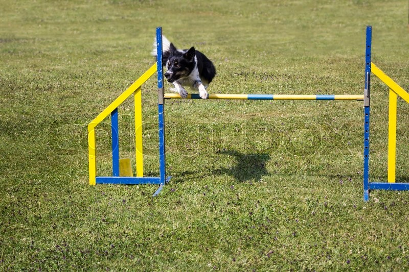 Dog Agility jumping over a hurdle during an agility competition, stock photo