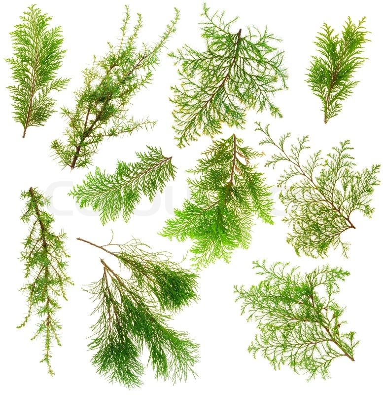 Various isolated on white coniferous evergreen plants - Arboles de jardin de hoja perenne ...