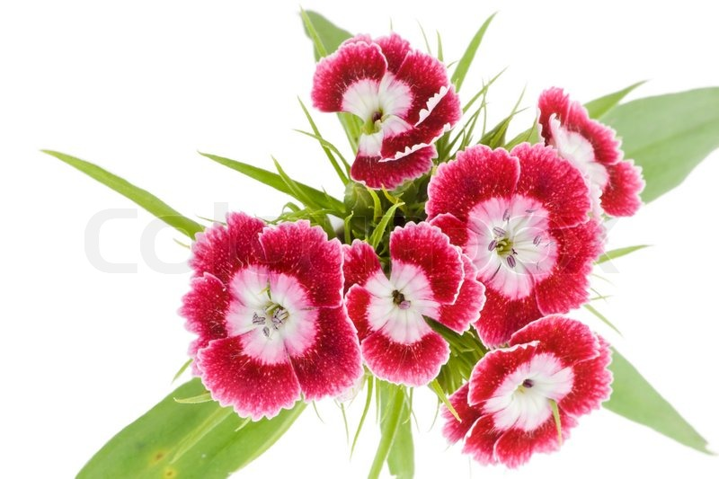 Flowers of rare pink carnations macro background isolated on white flowers of rare pink carnations macro background isolated on white stock photo colourbox mightylinksfo