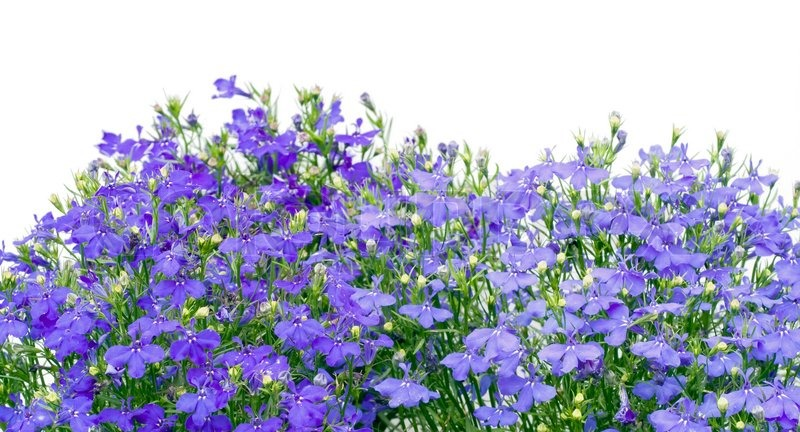 Dark Blue And White Flowers: Thousands Small Dark Blue Small Flowers Border Isolated On