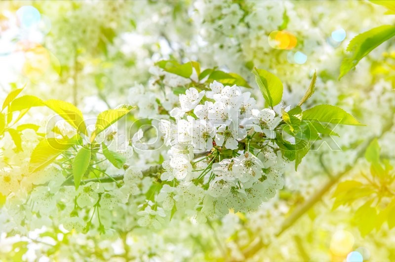 Blossoming of cherry blooms. Spring flowers with sun rays and light leaks. Selective focus, stock photo