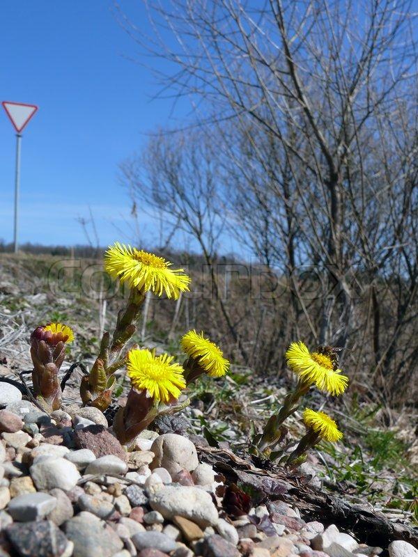 Der Erste Fruhling Gelbe Blumen Bluhen Stockfoto Colourbox