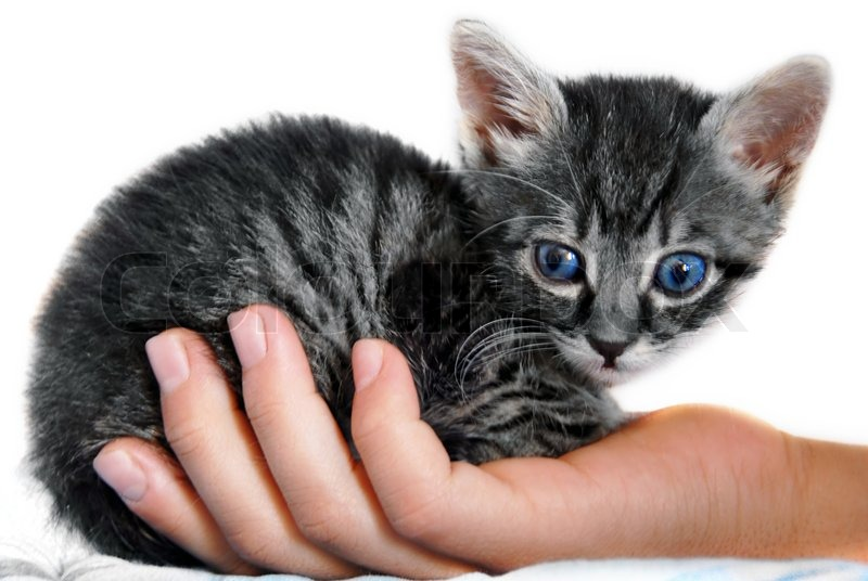 Graue Katze Mit Blauen Augen Kaufen
