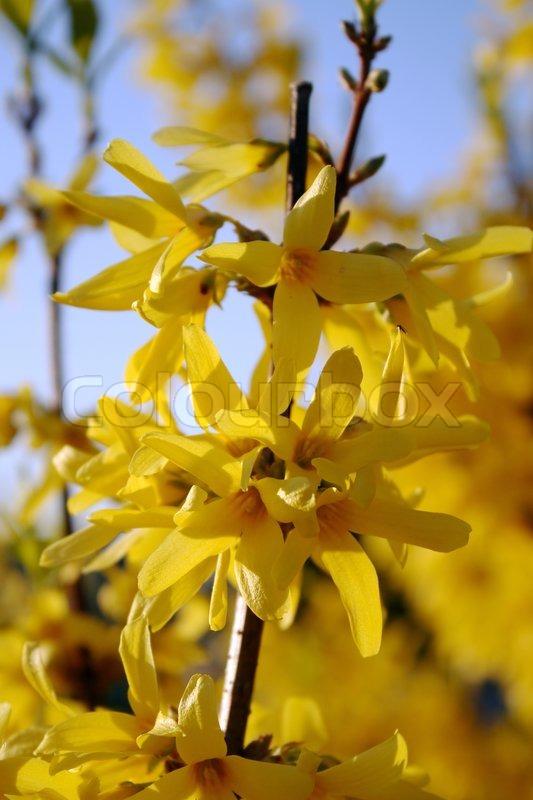 bush forsythia maluch mit hellen pr chtigen gelben bl ten. Black Bedroom Furniture Sets. Home Design Ideas