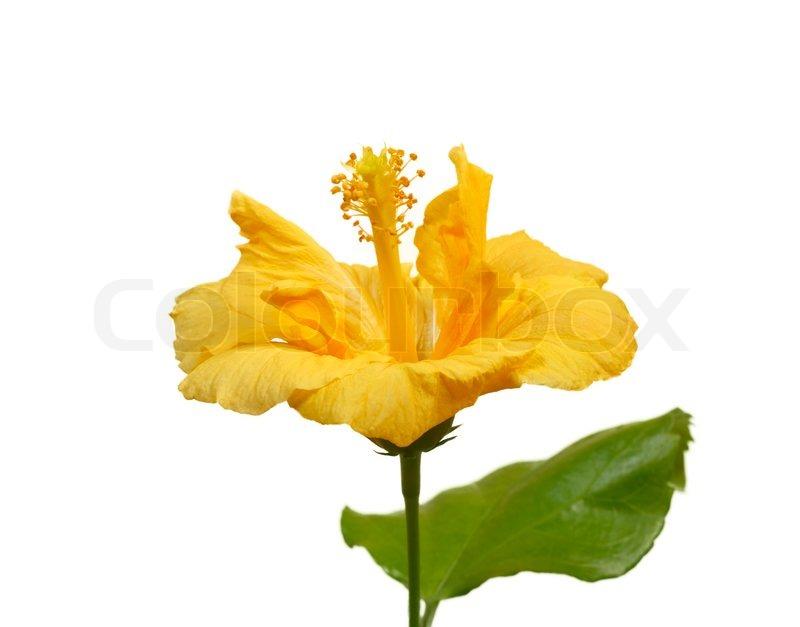 Large yellow hibiscus flower isolated on white background stock large yellow hibiscus flower isolated on white background stock photo colourbox mightylinksfo