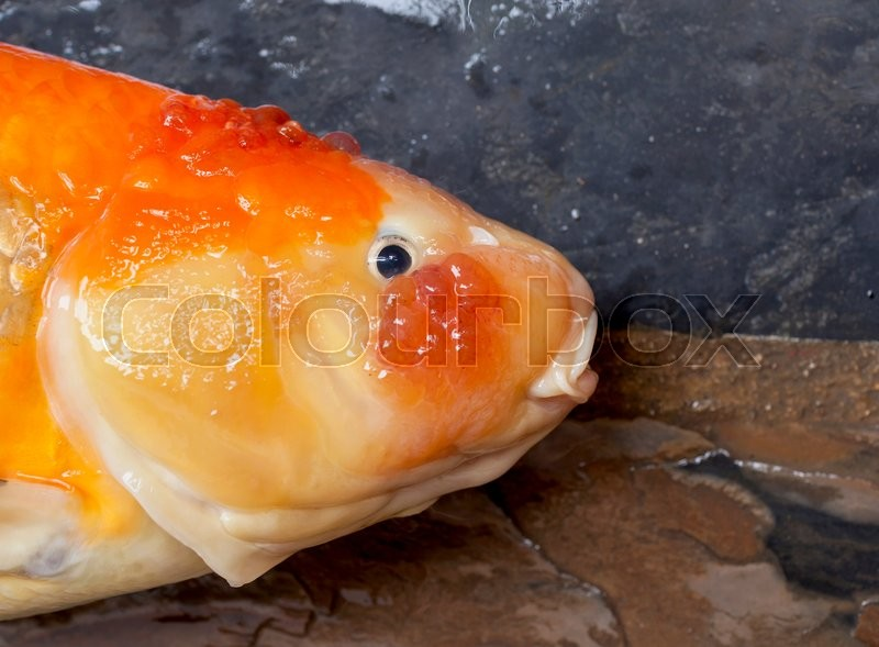 Closeup dead koi fish head diseases infected stock for Koi fish parasites
