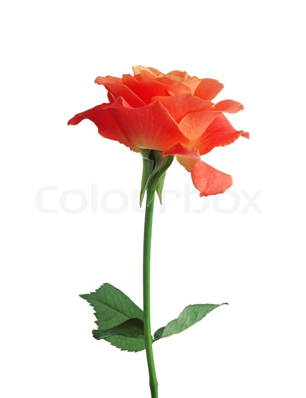 beautiful orange rose isolated on white background stock