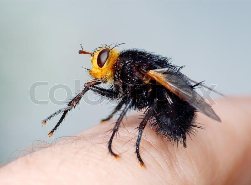 gro e schwarze fliege mit einem gelben kopf tachina grossa sitzt auf meinem finger. Black Bedroom Furniture Sets. Home Design Ideas