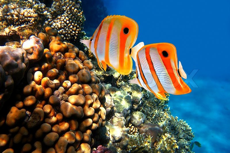 an analysis of the biomonitoring of coral reef health using butterflyfishes