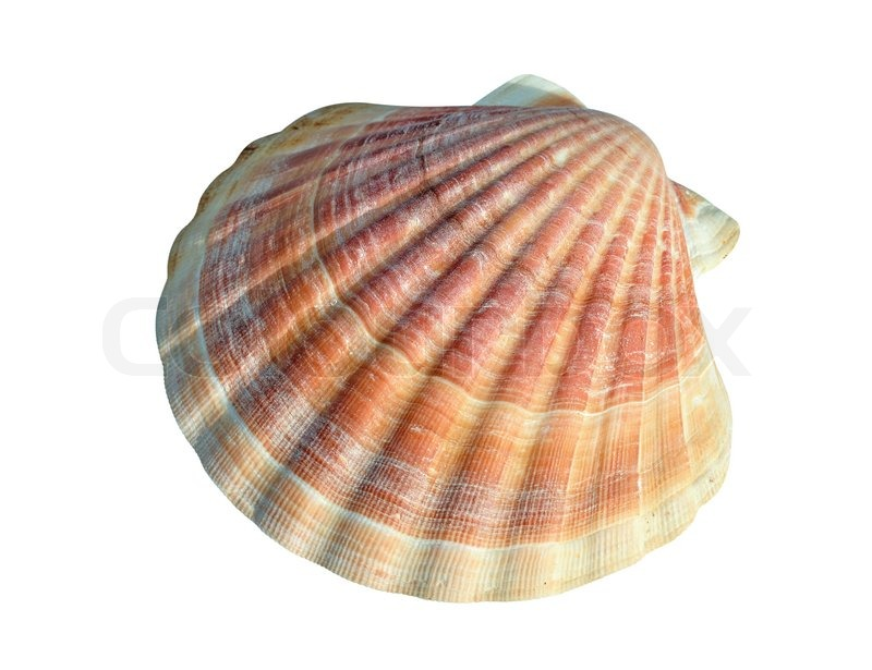 A scallop is a marine bivalve mollusc of the family Pectinidae ...