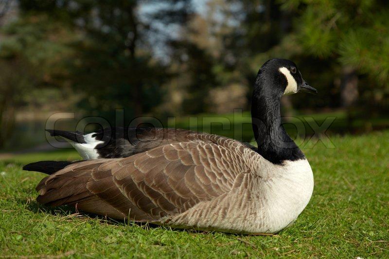 canada goose auf einem teich k ste stock foto colourbox. Black Bedroom Furniture Sets. Home Design Ideas