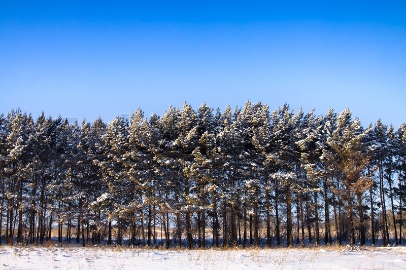 winter landscape line of pine trees snow and blue sky stock