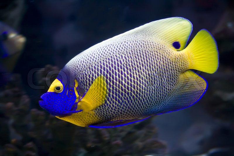 sch ne exotische tropische fische kaiserfisch stockfoto