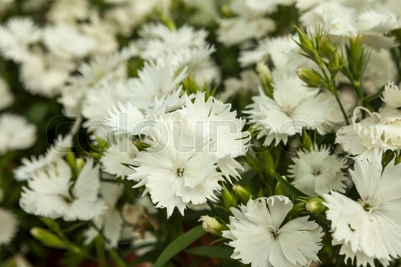 White carnation flowers on a small flower market. | Stock Photo ...