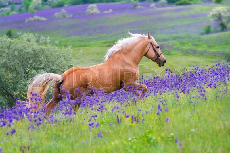 Palomino horse with long blond male on flower field ...