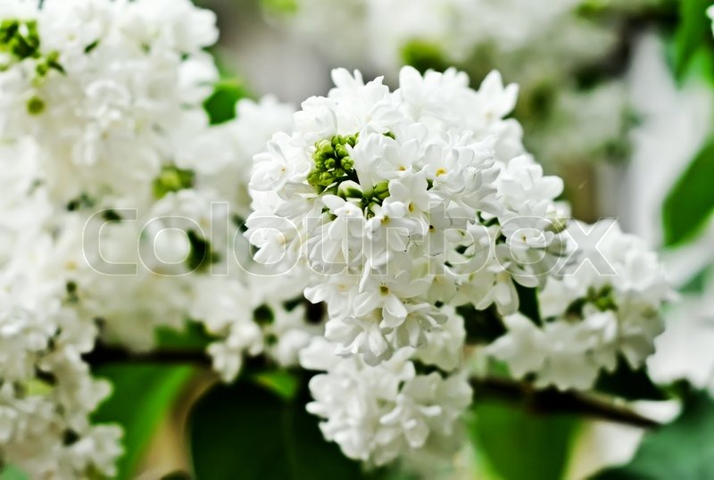 branch of white lilac flowers shallow depth of field stock photo