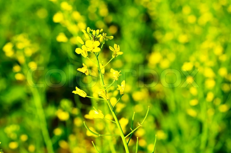 Rapeseed yellow flower on the green meadow stock photo colourbox mightylinksfo