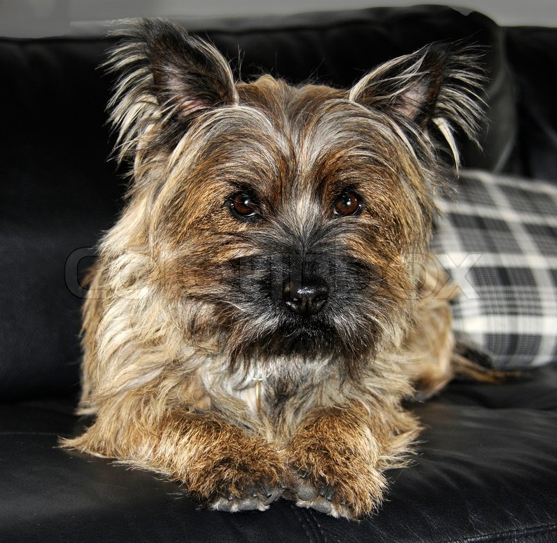 Cairn terrier | Stock foto | Colourbox