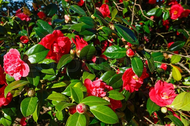 Blossoming Camellia Bush With Red Stock Photo