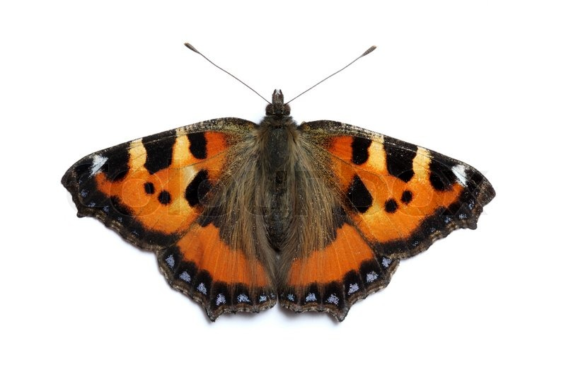 kleiner fuchs schmetterling auf wei em grund aglais urticae stockfoto colourbox. Black Bedroom Furniture Sets. Home Design Ideas