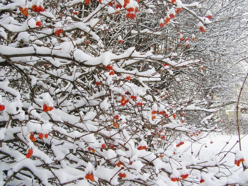 Stock image of 'Bush with red berries in winter time'