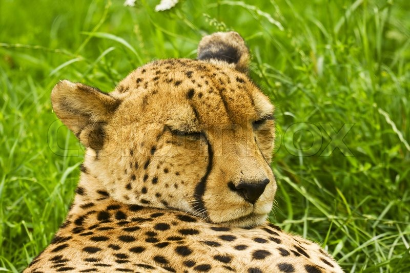 cheetah is on the green grass and sleeping stock photo colourbox