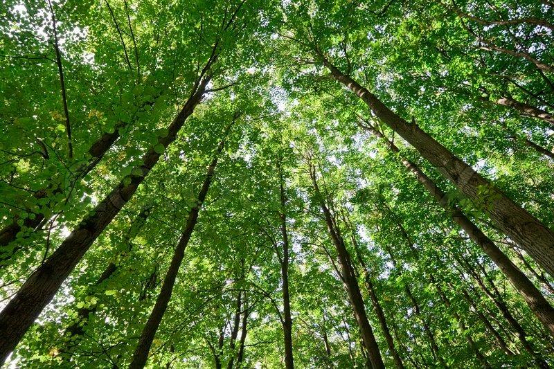 Stock foto af 'grøn skov med høje træer'