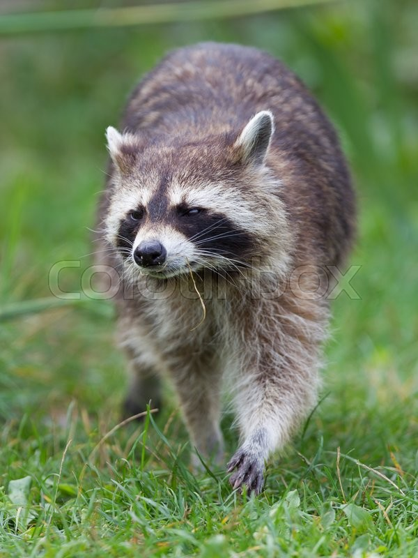 racoon adult site