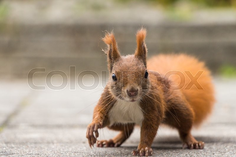 Squirrel in action. can be used for green parks, forest, animal, rodent and squirrels themes, stock photo