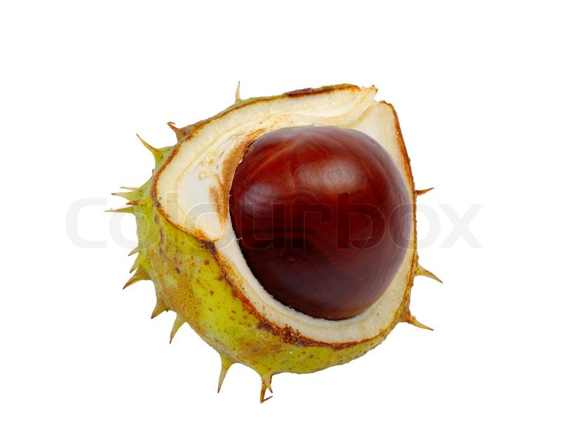 Split in half prickly fruit of the horse chestnut