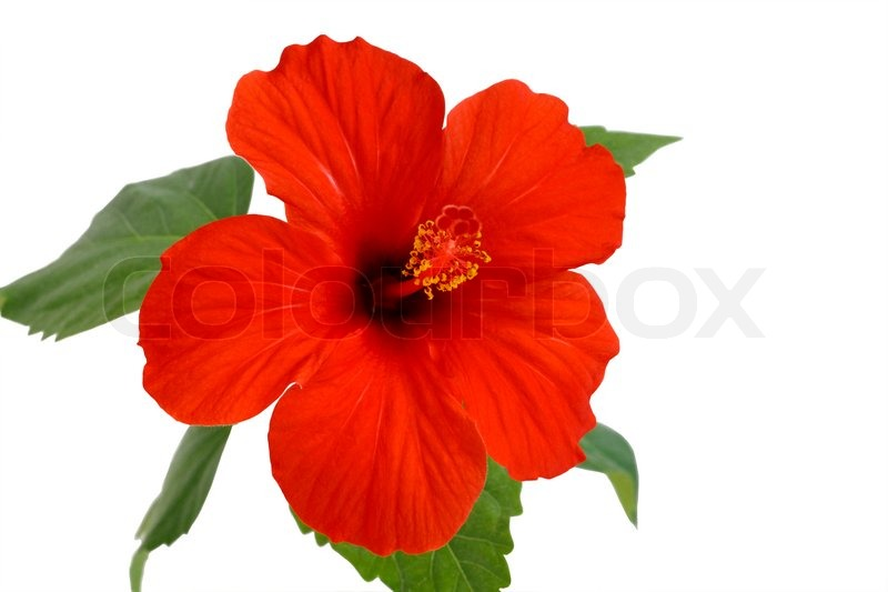 Picture Hibiscus Flower on Stock Image Of  Red Hibiscus Flower  Isolated On A White Background