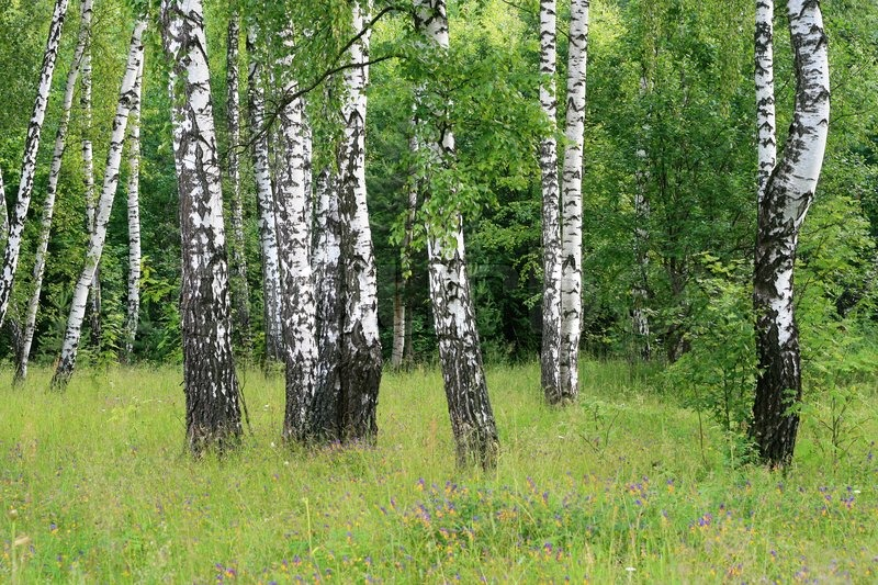 Birch trees in a summer forest | Stock Photo
