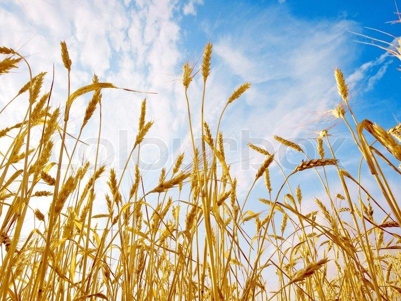Ripe Wheat Ears On Blue Sky Background View From Below