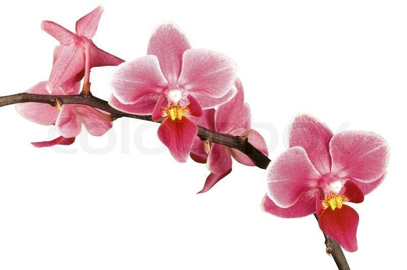 Rosa Orchidee isoliert auf weiß  Stock-Foto  Colourbox