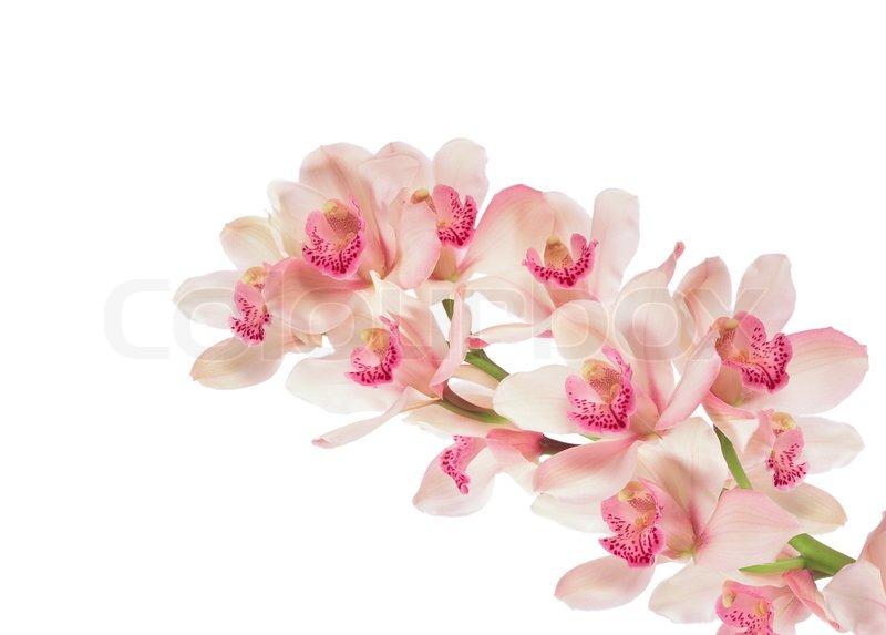 http://www.colourbox.dk/preview/1504080-974983-gren-af-orkide-isoleret-paa-hvidt.jpg