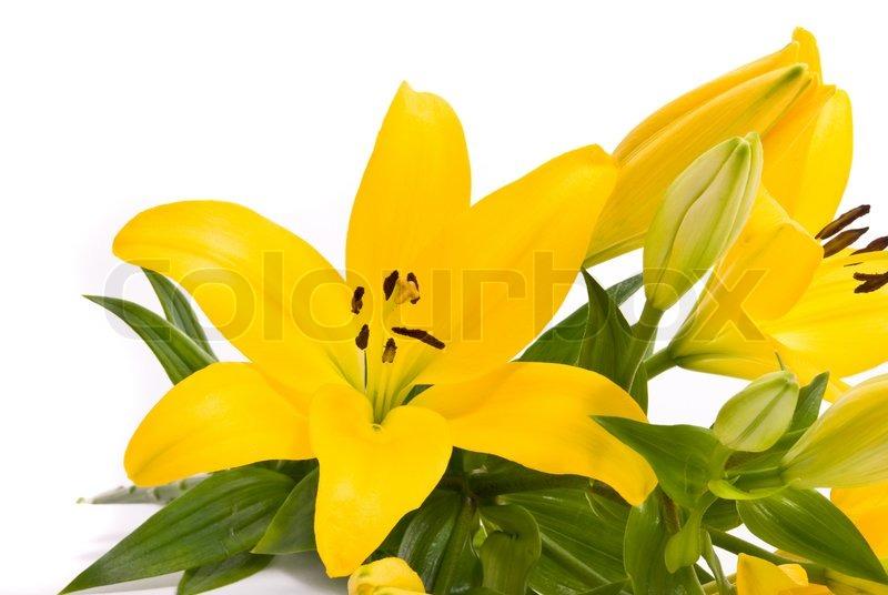 gelbe lilien auf wei em hintergrund stockfoto colourbox. Black Bedroom Furniture Sets. Home Design Ideas