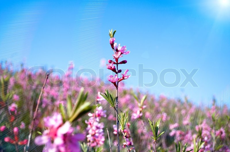 Stock image of 'Small pink flowers on a branch'