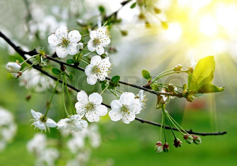 Branch of a blossoming tree with beautiful white flowers stock branch of a blossoming tree with beautiful white flowers stock photo colourbox mightylinksfo