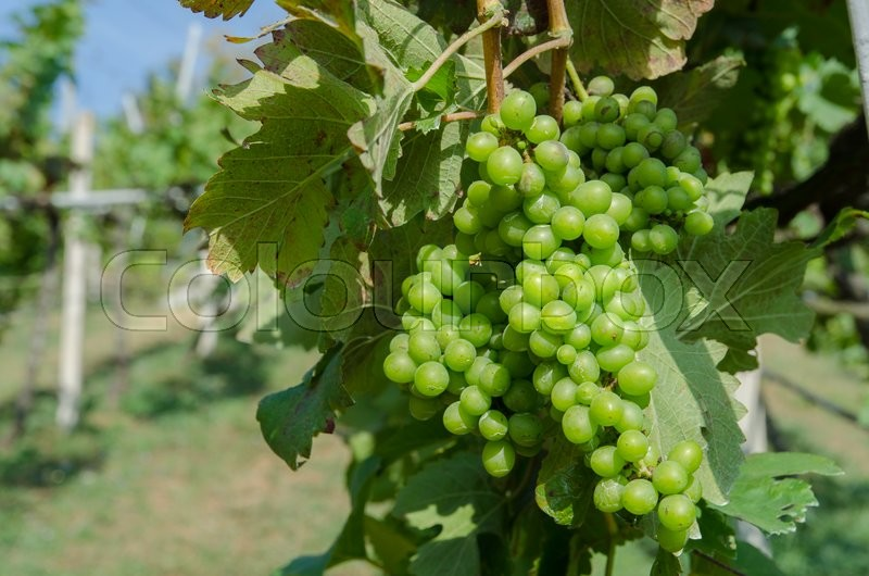 Bunch of grapes on the vine with green leaves, stock photo