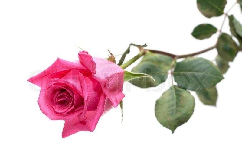 flower rose mit gr nen stiel auf wei em hintergrund isoliert stockfoto colourbox. Black Bedroom Furniture Sets. Home Design Ideas