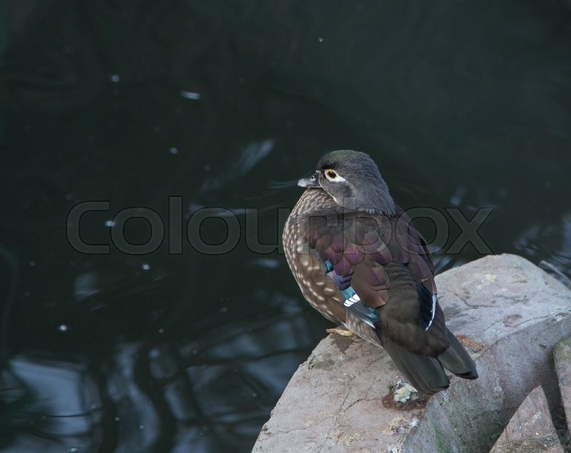 Wood duck with a white flare down the neck. Whole background, stock photo