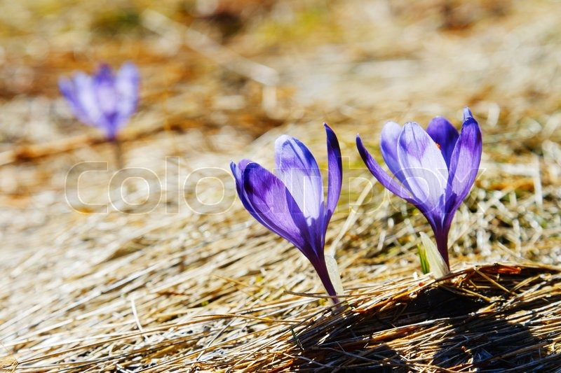Stock image of 'Springtime is the moment for this beautiful flower'