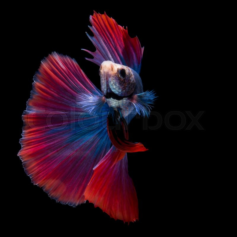 how to change siamese fighting fish water