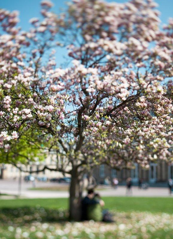 Spring Magnolia Tree In Full Bloom Stock Image Colourbox