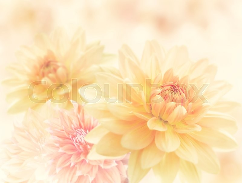 Dahlia Flowers Close Up for Background, stock photo