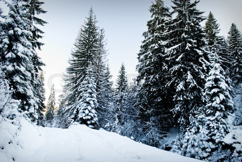 snowy fir trees forest - photo #17