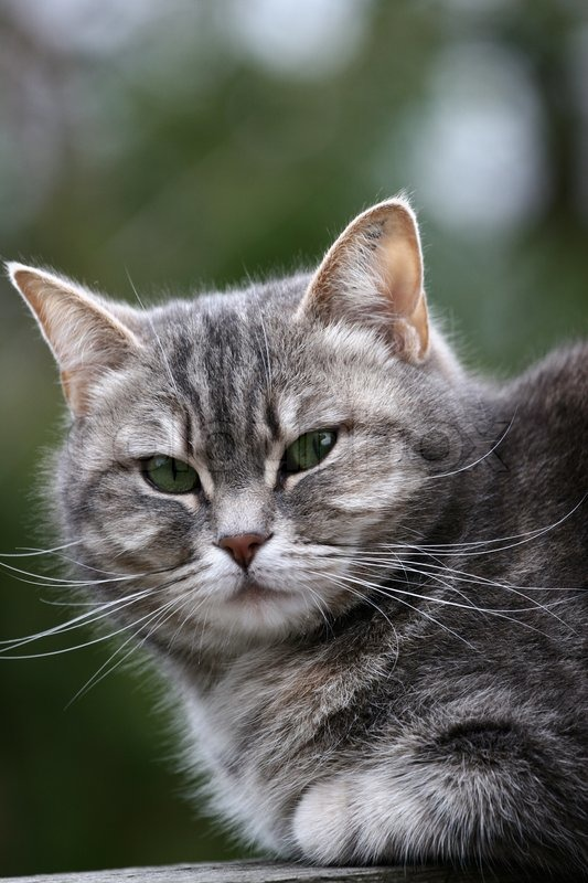 Grey cat with green eyes | Stock Photo | Colourbox Gray And White Cat With Green Eyes